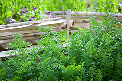 Carrots in the vegetable garden