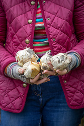 Holding allium bulbs ready to plant out