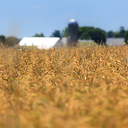 A wheat field on a rural farm is ready for harvest.