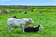 Bull with cow in meadow in County Clare, West of Ireland