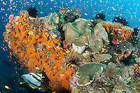 """Abundant reef fishes around a colorful soft coral encrusted """"Bommie""""<br /> <br /> <br /> Shot in Indonesia"""