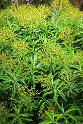 Euphorbia × pasteurii