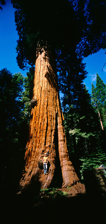 Stagg Tree is the sixth largest tree in the world by mass and is located near Springville California.  It is nearly 100 feet in circumference.  Arborist and recreational tree climber Andy Taylor is the fold of the tree.