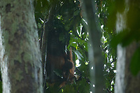 """Adult female Walimah with one month old infant.<br />In heavy rain, taking shelter with a """"cape"""" of leafy branches heald over head and back.  But note branches still attached to tree.  Distinct from typical """"leaf umbrella"""" where branches are broken off.<br /><br />Bornean Orangutan <br />Wurmbii Sub-species<br />(Pongo pygmaeus wurmbii)<br /><br />Gunung Palung Orangutan Project<br />Cabang Panti Research Station<br />Gunung Palung National Park<br />West Kalimantan Province<br />Island of Borneo<br />Indonesia"""