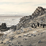 Adelie Penguin colony at Cape Royds, Ross Island, Antarctica