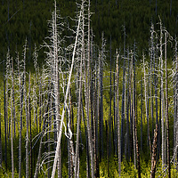 Dead lodgepole pines near Mount Washburn look like skeleton toothpicks in a sea of green undergrowth. In 1988, over 1 million acres of Yellowstone National Park burned to leave behind this unique landscape. Though fire is necessary and needed for the ecosystem, for example the high heat of wildfires allows the seeds of the serotinous cones on the pines to be released, but it can cause serious threat to humans and park infrastructure. Wildfires occur every year in Yellowstone and park management must find a balance between letting the wild be wild and protecting visitors.