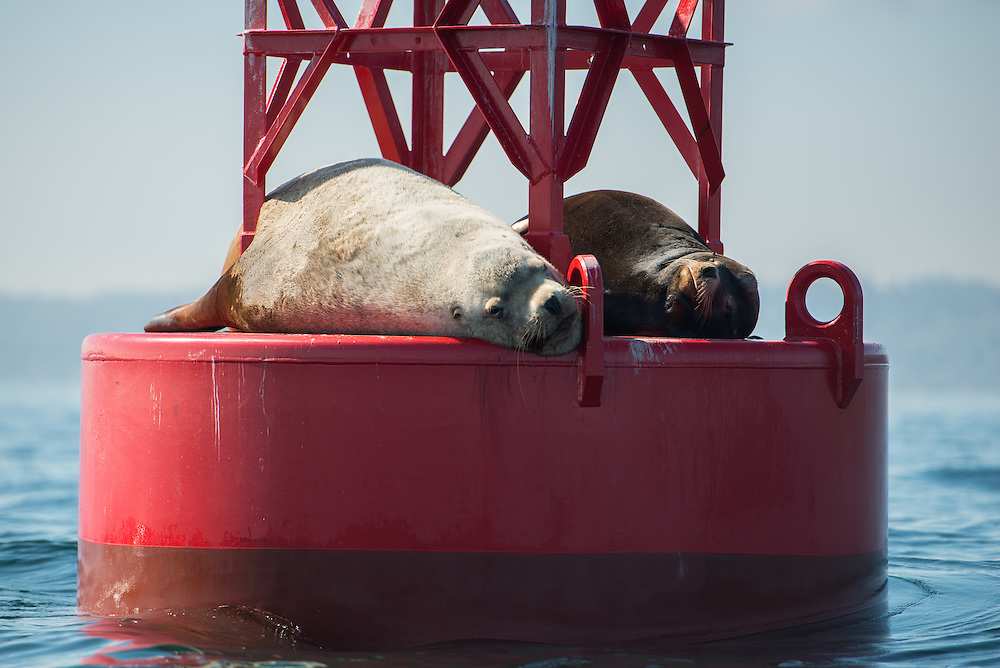 A large Steller sea lion (Eumetopias jubatus), with a smaller California Sea Lion (Zalophus californianus) on a bouy near the south end of Bainbridge Island, Puget Sound, Washington. Male Steller sea lions can grow to over 10 feet in length and 2,500 lbs, three times larger than the biggest of California sea lions. Photo by William Drumm.