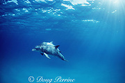 wild bottlenose dolphins, Tursiops truncatus, mother & calf, Tursiops truncatus, Little Bahama Bank, Bahamas, Western Atlantic Ocean