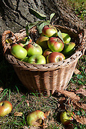 Fresh organic apples harvested in a basket in an apple orchard