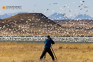 Photographer taking in the action  at Freezeout Lake WMA during spring migration near Choteau, Montana, USA