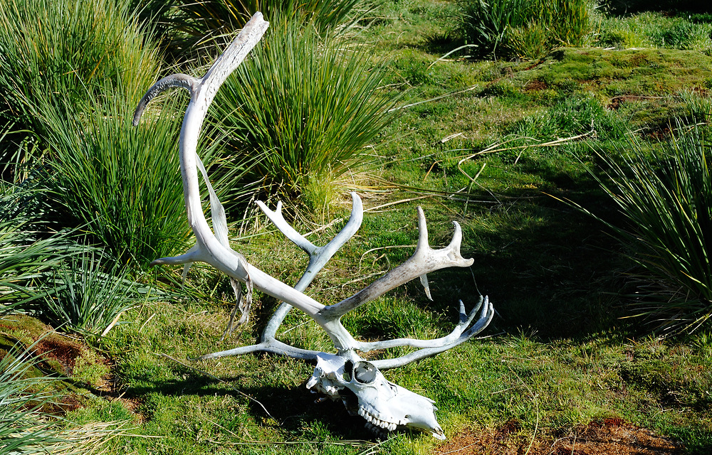 A reindeer skull and antlers lie on a hillside above Godthul. Reindeer were introduced to South Goeorgia  by the Norwegian whaling community in the early 20th century to provide fresh meat. These non-native beasts have proved destructive to the fragile environment so, along with non-native rats, have been exterminated.   Godthul, South Georgia. 21Feb16
