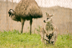 As an emu grazes in the background, a baby Wallaroo, or Joey, hangs its head and its tail out of its mother's pouch, Tuesday, April 19, 2011 at the Oakland Zoo in Oakland, Calif. This is the first Joey birth at the zoo in more than a decade. Joeys are born after a month-long gestation period, but then spend the next six to eight months growing in the mother's pouch. (D. Ross Cameron/Staff)