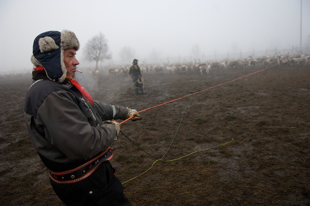 Veggai, 58, reigns in a calf after lassoing with a 40m throw. A champion lasso thrower throughout Scandanavia in his younger years, he learned to throw the lasso when he learn how to walk.
