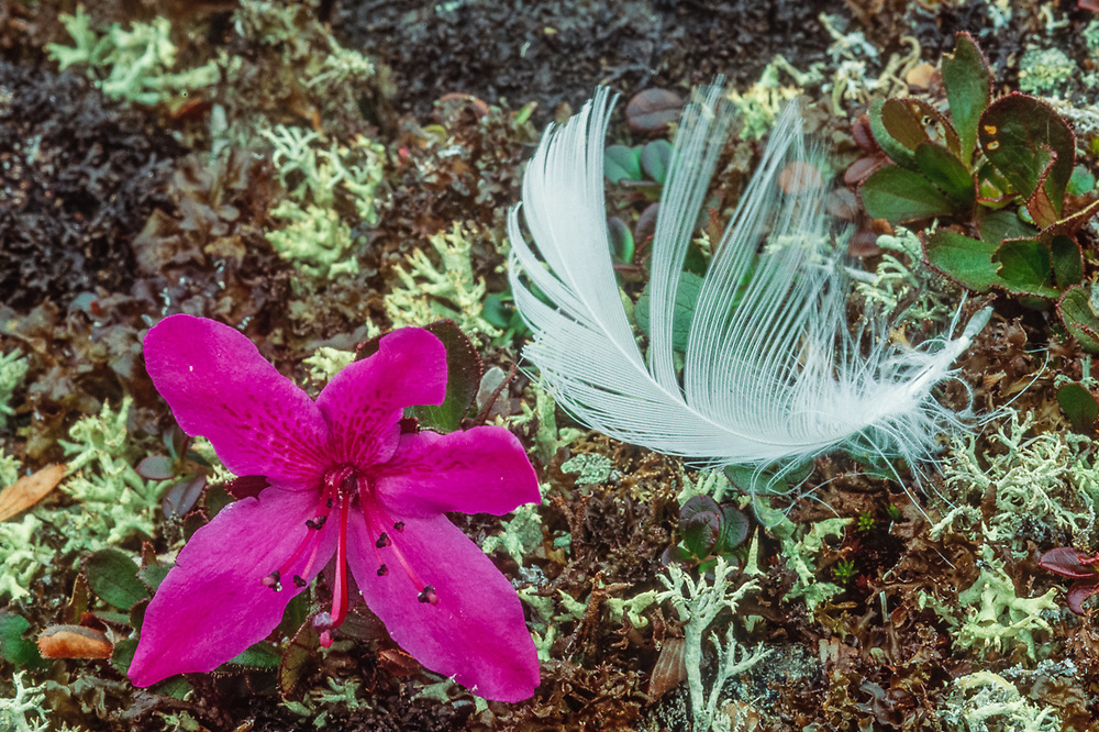 Lapland rosebay ((Rhododendron lapponicum) and gull feather, Chukotsk Peninnsula, NE Russia