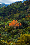 Flowering tree growing in the jungles of the Cordillera Central region of Puerto Rico (photo by Charleston SC photographer Richard Ellis)