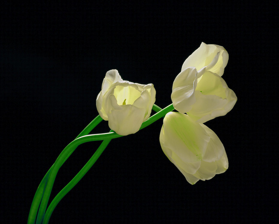 Limited Edition of 50 includes all sizes.  3 tulips backlit against black background.