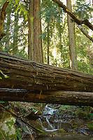 A stream flows across the Pine Ridge Trail under a fallen redwood, Big Sur, California.