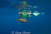 snorkeler with green sea turtle or honu ( Chelonia mydas ) Kealekekua Bay, Kona, Hawaii, Island ( the Big Island ) Hawaiian Islands, USA ( Central Pacific Ocean ) MR 354