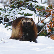 Wolverine in the snowy foothills of the Rocky Mountains. Captive Animal