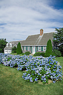 A traditional Cape style house with a mass of hydrangeas.