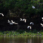 Flock of snowy egret in flight along Cuiaba river, Pantanal, Brazil