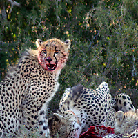 Africa, South Africa, Kwandwe. A cheetah takes a break from devouring a springbok at Kwandwe Game Reserve.