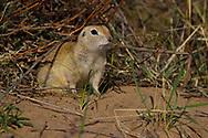Pallid Ground Squirrel, Spermophilus pallidicauda, sitting on ground in Bai Yin Adao National Nature Reserve, Inner Mongolia, China