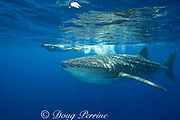 photographer James D. Watt and whale shark ( Rhincodon typus ), Kona Coast of Hawaii Island ( the Big Island ) Hawaiian Islands, USA ( Central Pacific Ocean ) MR 357
