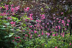 Salvia involucrata 'Bethellii' with Salvia microphylla 'Cerro Potosi' in front of Sambucus nigra 'Thundercloud'
