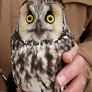 Long-eared owl captured for brief data collection, soon to be released. Missoula, Montana