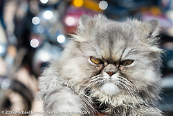 Crazy cat checking out the annual Boardwalk Bike Show during Daytona Bike Week. FL. USA. Friday March 16, 2018. Photography ©2018 Michael Lichter.
