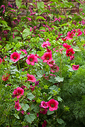Malope trifida 'Vulcan' with Persicaria orientalis. Annual Mallow with Kiss Me Over The Garden Gate