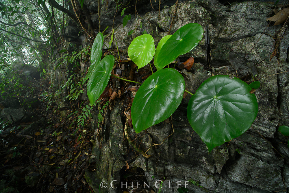 Begonia pulvinifera. Ha Giang, Vietnam.