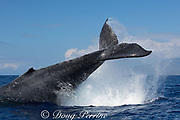 humpback whale, Megaptera novaeangliae, tail-throwing West Maui, Hawaii, USA ( Central Pacific Ocean )