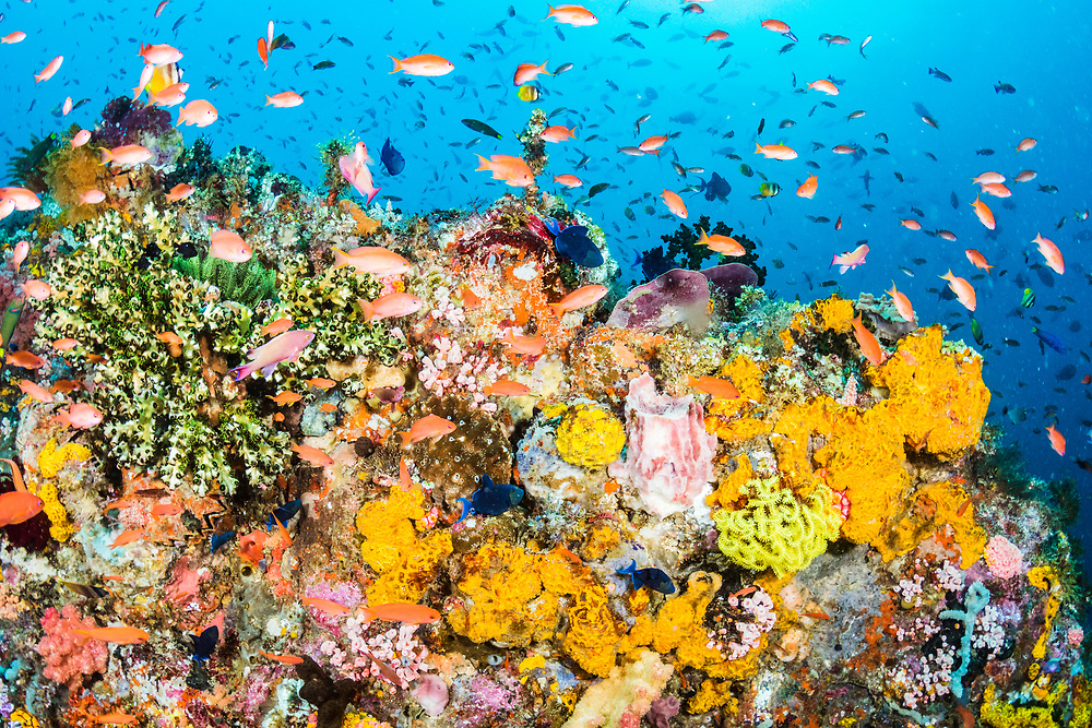A beautiful coral reef scene filled with a great diversity of fish and coral life. Image made near Alor, Indonesia.