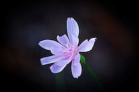 This wildflower is often found in pinelands and open scrub in South and Central Florida.