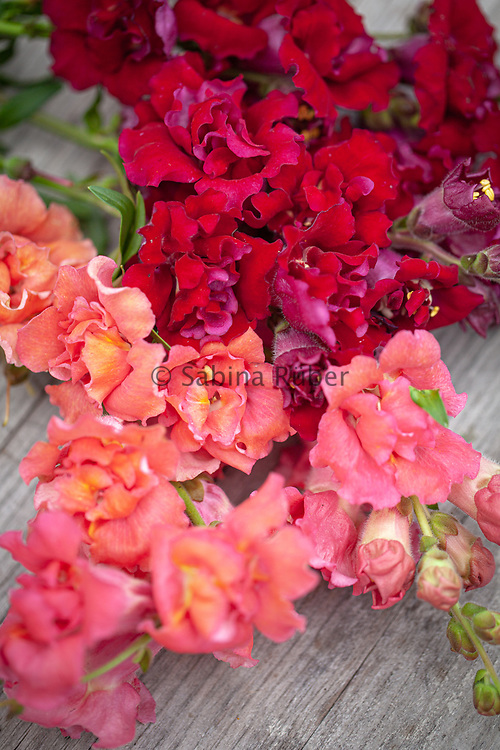 Antirrhinum majus 'Madame Butterfly Bronze', Double Series - snapdragon Butterfly', Dark Red and Bronze, double series - snapdragon