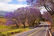 Jacaranda tree, road to Haleakala, Upcounty Maui, Hawaii