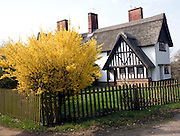 Yellow blossom forsythia plant in garden thatched timbered house, Little Glemham, Suffolk