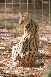 Serval, Big Cat Rescue