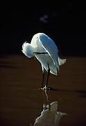 Snowy egret,  Leucophoyx thula, preening, Everglades National Park, Florida.