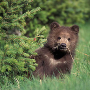 Grizzly Bear, (Ursus horribilis) Spring cub. Southwest Montana.  Captive Animal.