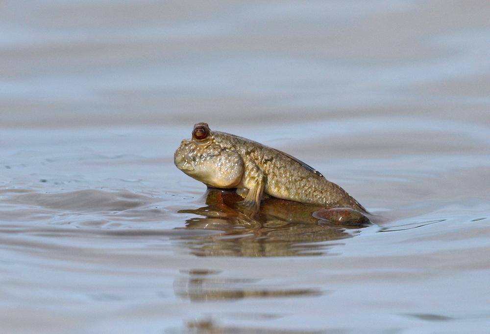 Mudskipper -  Periophthalmus barbarus