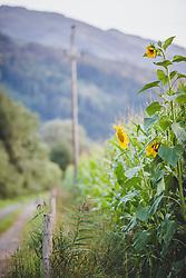 THEMENBILD - Sonnenblumen in einem Maisfeld, aufgenommen am 12. August 2018, Kaprun, Österreich // Sunflowers in a corn field on 2018/08/12, Kaprun, Austria. EXPA Pictures © 2018, PhotoCredit: EXPA/ Stefanie Oberhauser