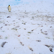 Emperor penguin (Aptenodytes forsteri) adult stops among ice covered with dead chicks that froze to death from an unusual rain event possibly related to climate change. Riiser-Larsen Ice Shelf, Antarctica.