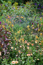 Verbascum 'Clementine' with Geum 'Mai Tai', Penstemon 'Husker Red', Briza,  Foeniculum vulgare (fennel) and Calendula 'Sunset Buff'.