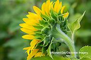 63801-11211 Sunflower in field Jasper Co.  IL