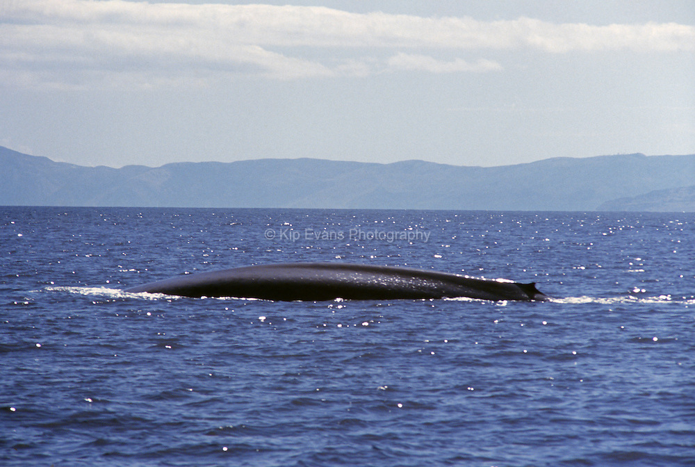 Blue whale tails rising out of the Pacific Ocean near Santa Rosa Island, CA