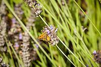 A moth feeds on a lavender flower.