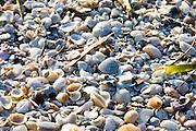 Sea shells on the seashore at Anna Maria Island, United States of America